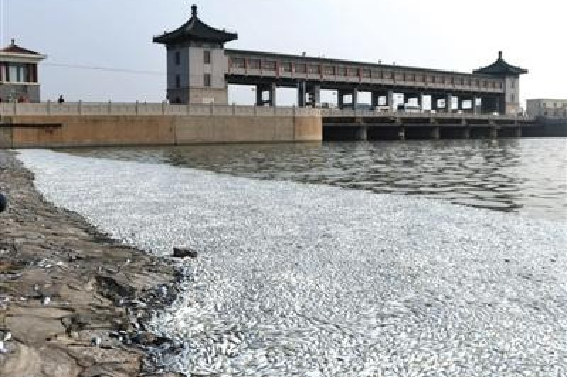 天津爆炸案後,距離爆炸中心6公里的岸邊,浮現大量死魚,且發出濃烈腐臭。(取自中國新聞網)