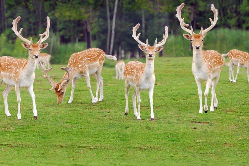 梅花鹿讓原住民維持很長時間的狩獵文化。