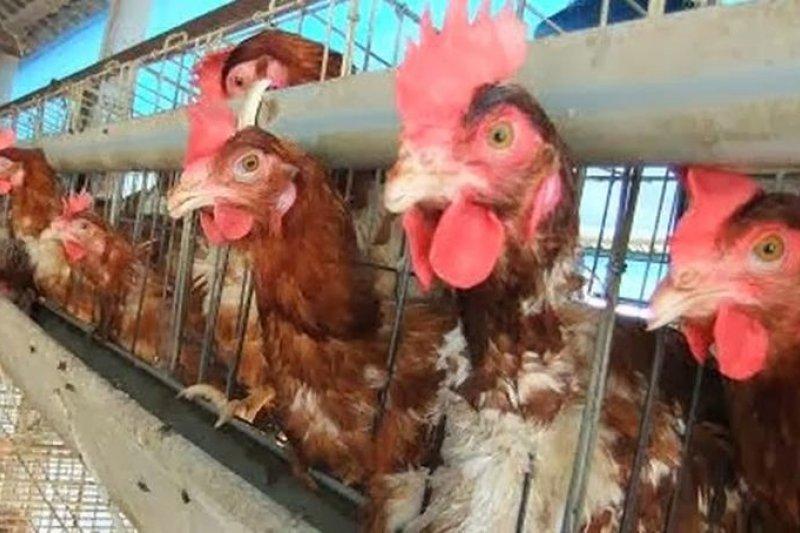 戴奧辛蛋主要來自3個位於彰化地區的蛋雞場,分別是「駿億」、「鴻彰」、「財源」,目前已全面封存。衛福部長陳時中22日要求買到戴奧辛蛋的業者,下午3點前全數下架。(資料照,圖取自動物社會研究會)