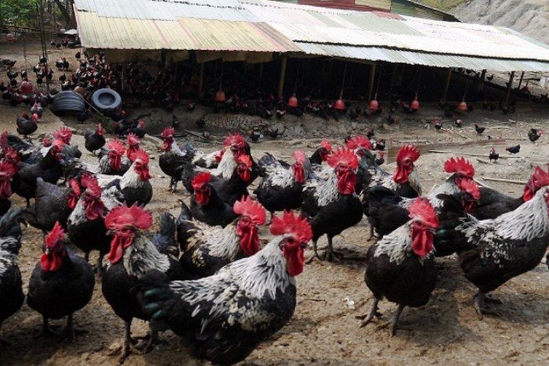 農委會公佈明年6月起,雞農只能「密閉式」、「非開放式」養雞,意即要有屋頂、遮棚加上圍網才可以養雞,否則會被罰款。(取自 野飼崎雞官網)