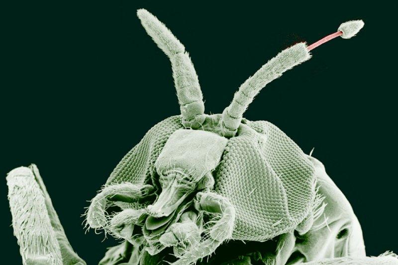 放大100倍下,成年黒蠅帶有寄生蟲人蟠尾絲蟲的觸鬚。(維基百科)