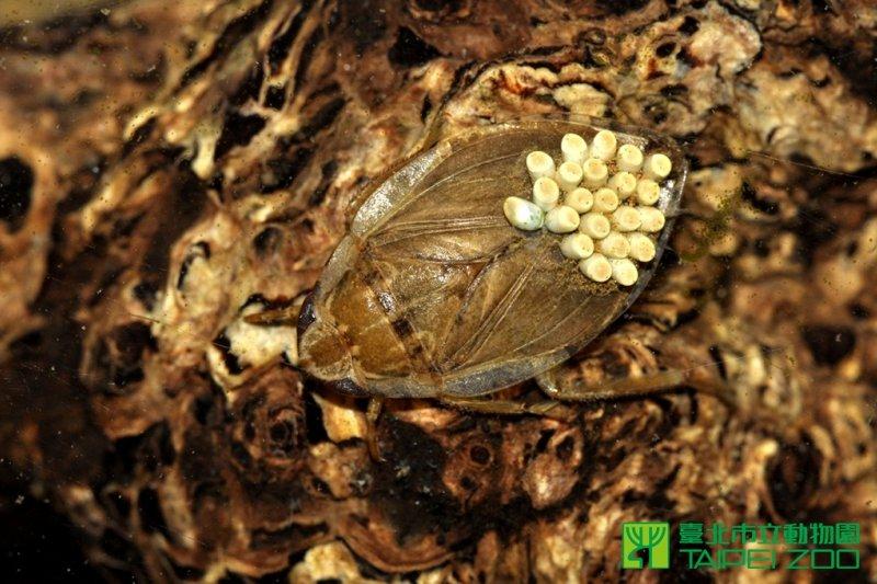克制病媒蚊孳生,台北市立動物園祭出新法寶「負子蟲」。(取自台北市立動物園網站)