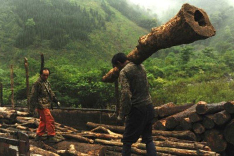 綠色和平組織指出,承包商、林農等群體利用「政策漏洞」砍伐天然林。(BBC中文網)