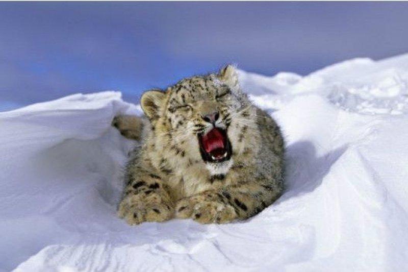 報告說,氣候改變將加劇雪豹的瀕危狀態,使其數量逐漸減少。(BBC中文網)