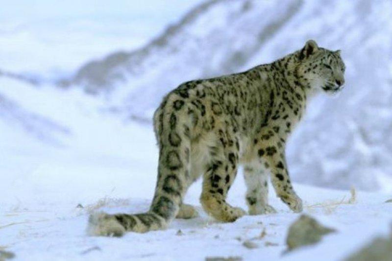氣候變暖正威脅雪豹的生存環境。由於氣候改變,三分之一的雪豹棲息地將不再適合雪豹長期生存。(BBC中文網)