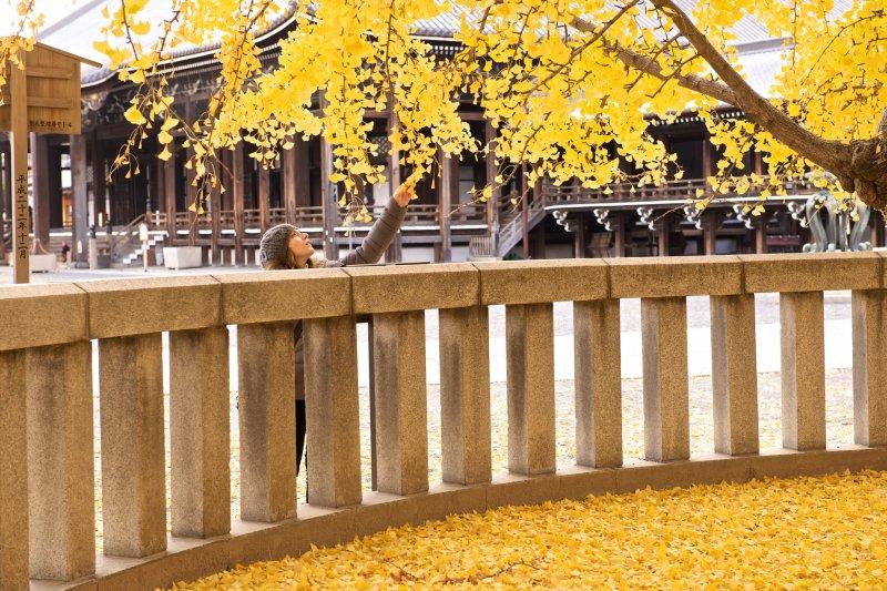 西本願寺的銀杏相當有名,但東西本願寺有什麼不一樣呢?(圖/RyosukeYagi@flickr)