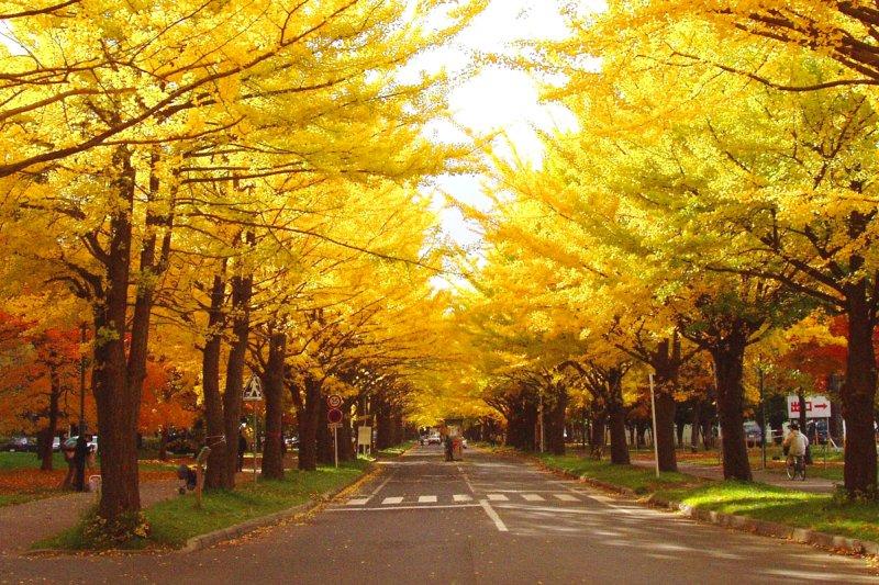 金黃銀杏並木道美景令人震撼。(圖/札幌市觀光文化局觀光會展部觀光規劃課)