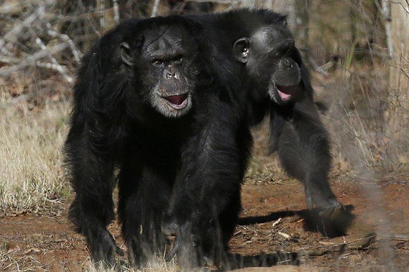 黑猩猩(美聯社)