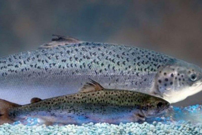 基因改造鮭魚AquAdvantage(較大隻者)。(AquaBounty)