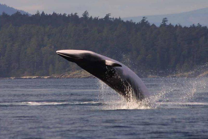日本捕鯨船隊大肆捕殺的小鬚鯨(取自網路)