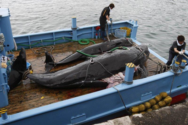 日本捕鯨船隊大肆捕殺小鬚鯨(取自網路)