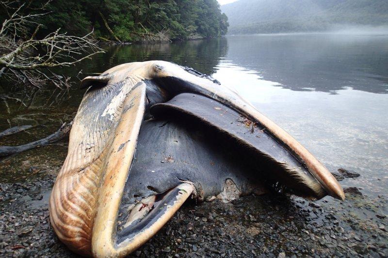 塞鯨在巴塔哥尼亞高地峽灣擱淺身亡的慘狀,照片攝於今年4月。(美聯社)