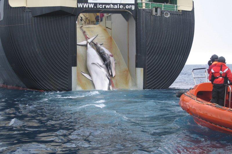 日本科研捕鯨船特別在船身標明:相關作業合乎《國際捕鯨規範公約》。