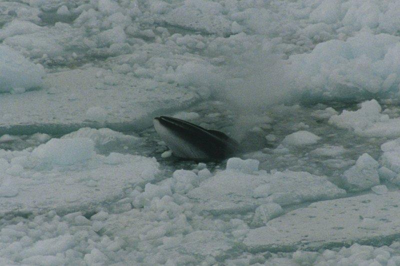 最大天敵可能是日本捕鯨船的南極小鬚鯨。