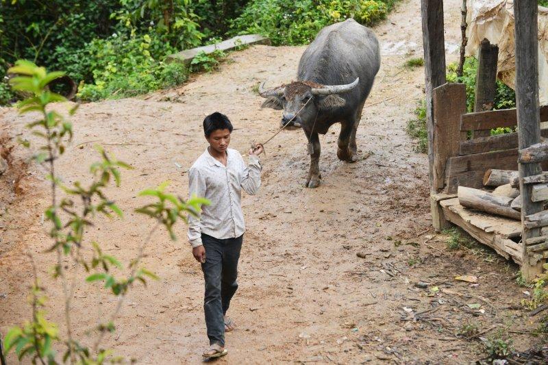 雲南省西雙版納猛海縣布朗山鄉曼囡村曼班三隊的一位拉祜族小夥放完牛回到寨子(新華社)