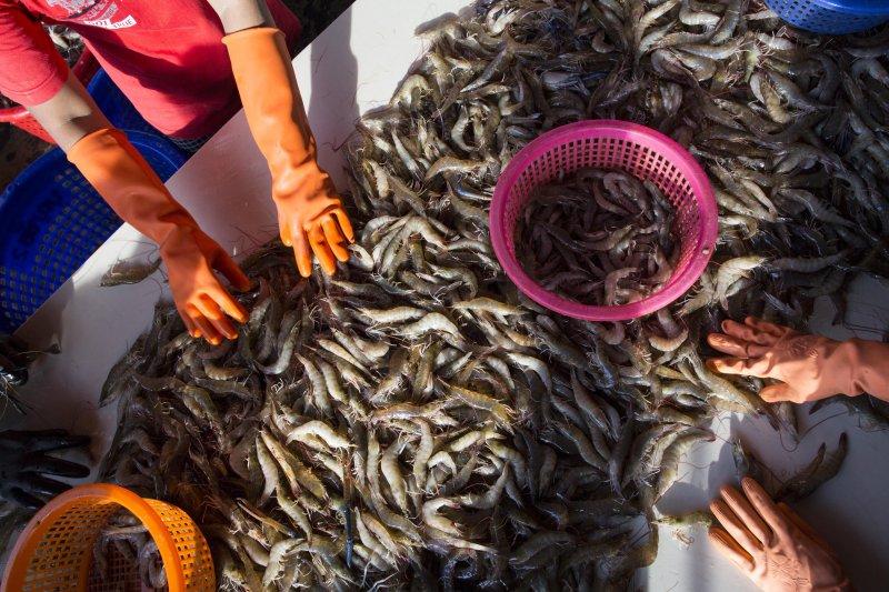 因應中國沿海爆發十足目虹彩病毒,全台蝦場展開監測,目前約逾10場確診。圖為示意圖。(美聯社)