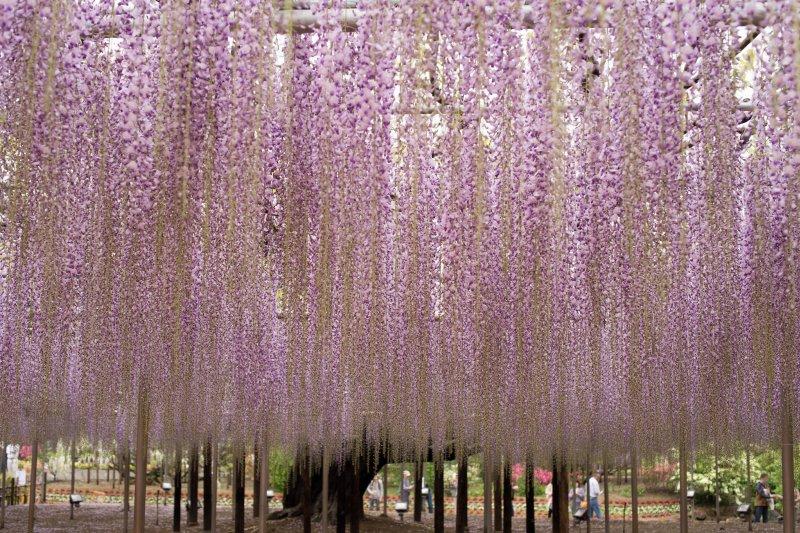 不需等到入夜點燈,白天的百年紫藤架就很有看頭。(圖/Takashi Hososhima@Flickr)