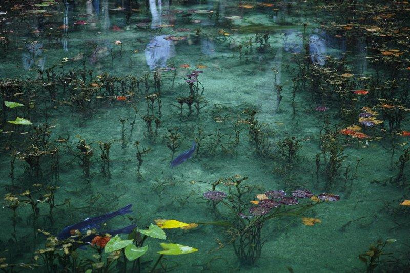 錦鯉與水草漂浮在清澈池水中,造就如畫的光景。(圖/sk virtual@Flickr)