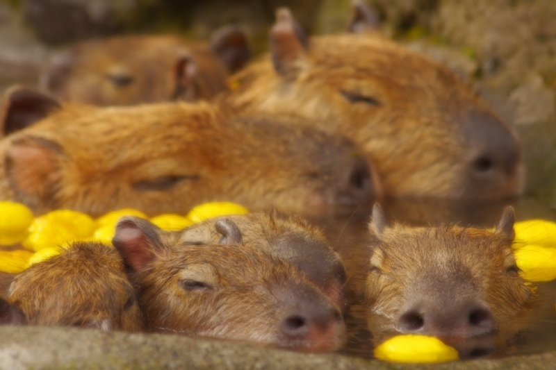 日本人習慣在冬至泡柚子澡除穢,連水豚溫泉景點也在這天放柚子應景。(圖/capybara lover