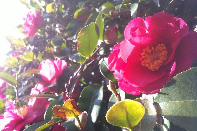 在日本,「椿」是一種意境高雅的庭院之花,「山茶花」通常是種來當圍牆的圍牆花(圖/coloredby@flickr)