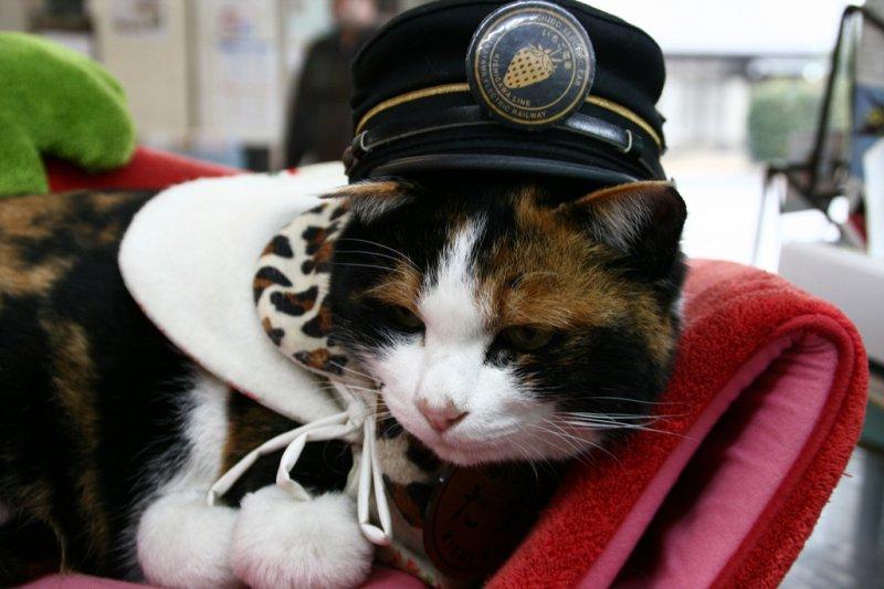 戴上站長帽子的三色貓小玉可愛模樣曾經讓許多遊客特地為了她而來(圖/海爾渥 / Hairworm@flickr)