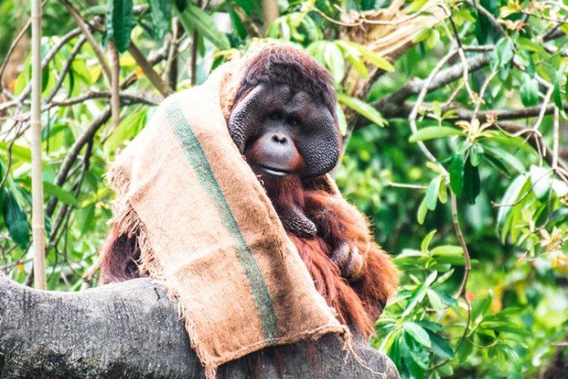 生活在熱帶雨林區的人猿,對寒冷的氣溫較敏感,保育員特地給牠一個麻布袋,人猿相當聰明,懂得使用工具,會將麻布袋撕開,披在肩上擋風保暖,行為就跟人一樣,相當可愛。(取自台北市立動物園)