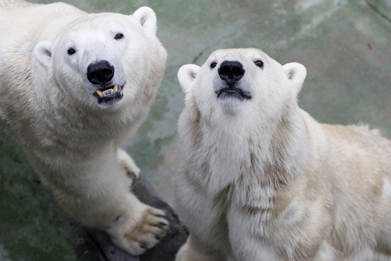 北極熊(美聯社)