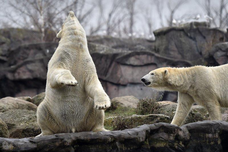 北極熊大舉入侵俄羅斯北部人類居住地覓食(美聯社)