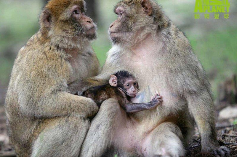 來自北非的猴子會舉足照顧猴寶寶,溫柔體貼成為母猴的擇偶優先條件。(動物星球頻道提供)