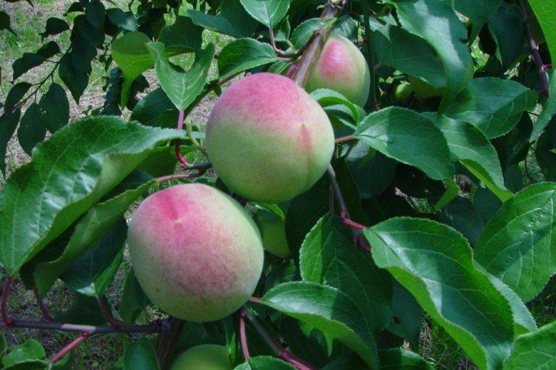 熟的梅子除了可以用來製作梅酒之外,也可以做成果醬、梅干(梅干し)或是梅醋(梅酢)。(圖/轉載自TSUNAGU JAPAN)