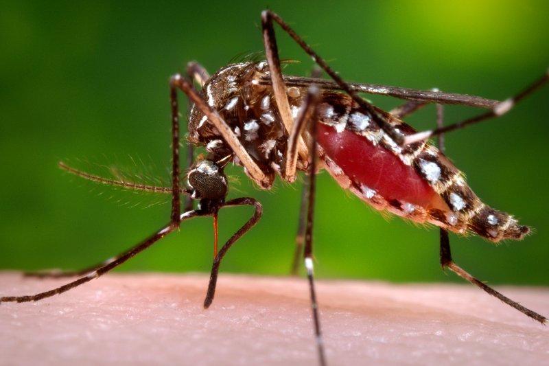 與登革熱病毒相同,茲卡病毒也是由埃及斑蚊傳播。(美聯社)
