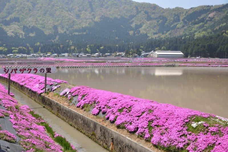 每逢春季,大野城周遭處處可見盛開的芝櫻。(翻攝越前大野臉書)