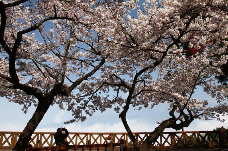 今年走春最樂門地點仍然是阿里山。(阿里山森林遊樂區臉書)