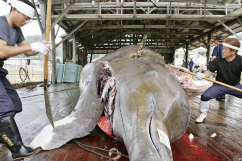 日本一些沿海地區的人世代捕鯨。(BBC中文網)