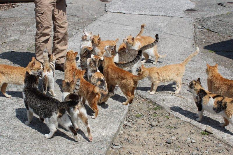 位於愛媛縣的青島,被遊客評為「愛貓人士的樂園」。(翻攝青島臉書)