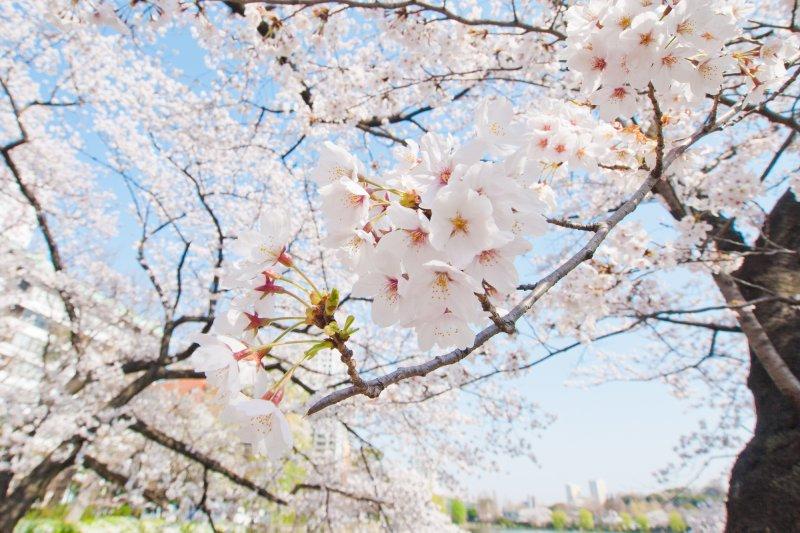 又到了賞櫻的季節啦!快一起來看日本各地開花時間(圖/hkase@flickr)