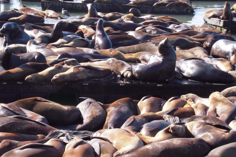 海獅躺在木板悠閒曬太陽,成為舊金山漁人碼頭特殊景觀。 (照片拍攝:Peace Wang)