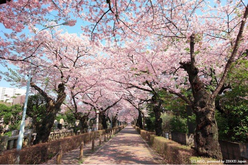 跟著東京在地人的腳步賞櫻花!(圖/ZEKKEI JAPAN)