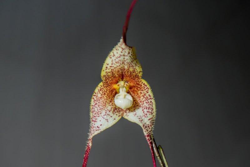 台灣國際蘭展今年特別從南美洲國家祕魯及厄瓜多,引進多款珍貴的猴面蘭(Dracula Simia),成為此次蘭展焦點。(國際蘭展提供)