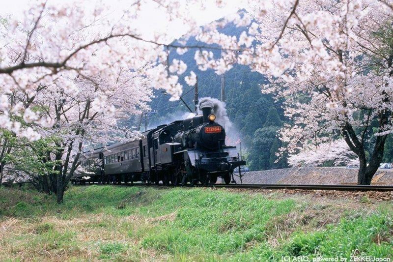 每逢花季,大井川鐵道盛開的櫻花總吸引大量遊客!(圖/ZEKKEI JAPAN)