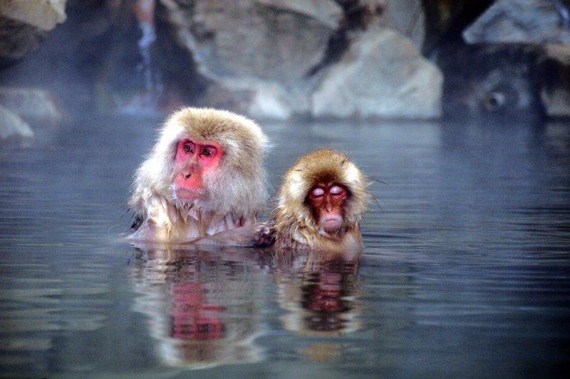 日本溫泉資源豐富,連猴子都知道「天然的尚好」。(圖/Chi Tranter@flickr)