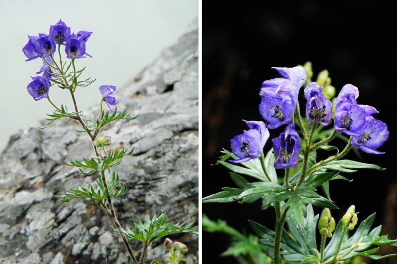 讓許多登山者驚豔的野花,也有致命毒性...(圖/時報出版提供)