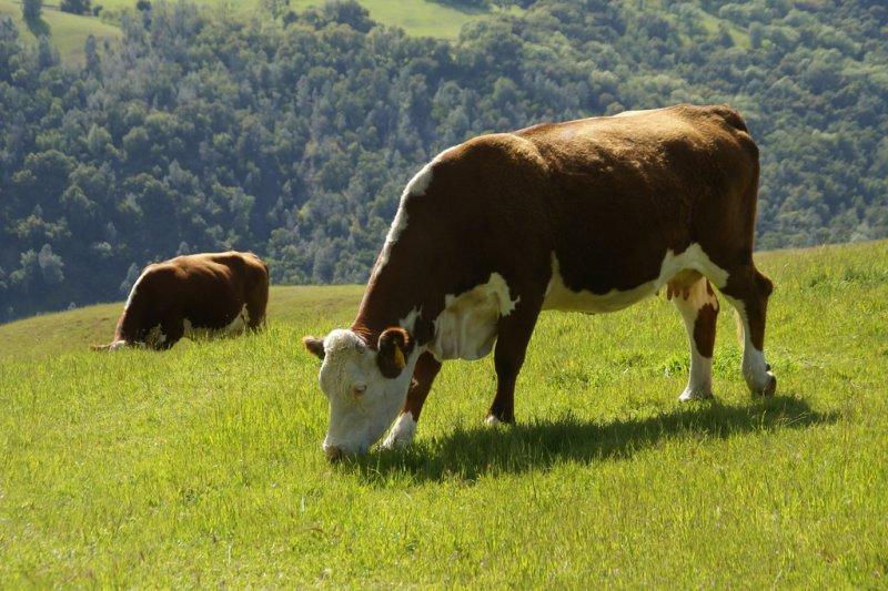 大腦反芻式思考好比牛吃草一樣,同個想法、念頭,需要消化、咀嚼多次才罷休!(圖/David Baron@flickr)