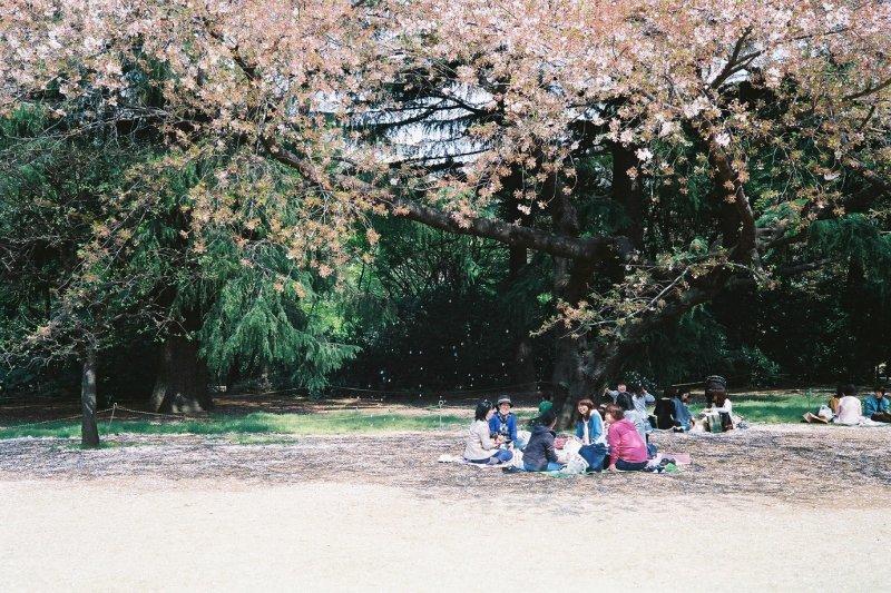 賞櫻這件事濃縮了許多日本文化意涵。(圖/作者提供)