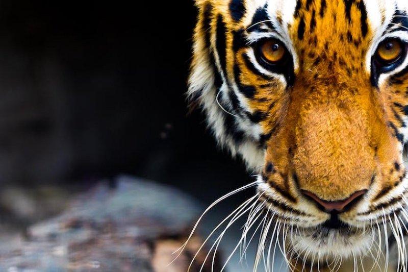作者認為「虎咬人」的事件不是偶然,而是中國人一種不守法成性的風俗。(資料照,取自推特)
