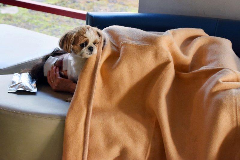 益城町一名受傷的災民正在休息,愛犬在一旁陪伴,從被窩裡探出頭來(美聯社)