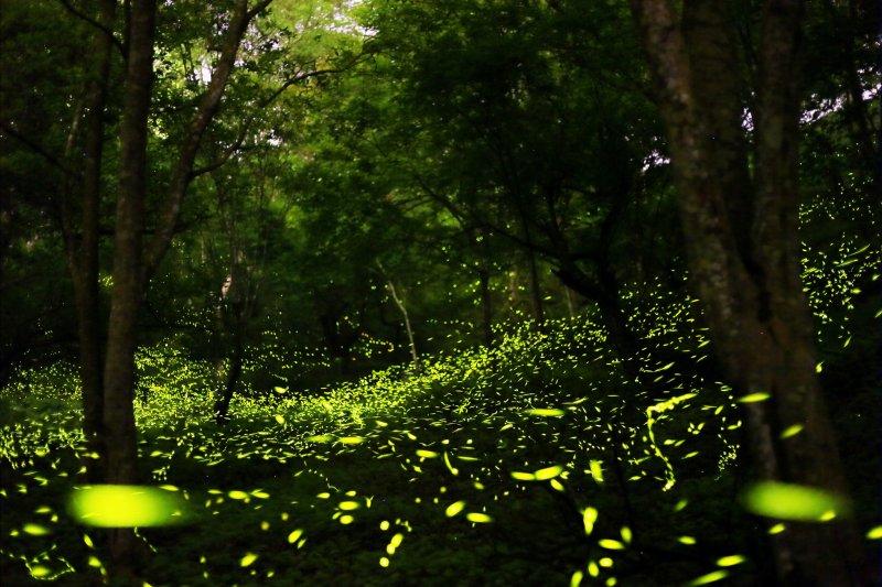 東勢螢火蟲。(圖/Calvine Wu@Flickr)