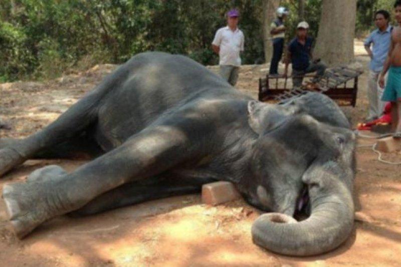 這頭大象在炎熱的天氣環境中行走了45分鐘後倒地死亡。(BBC中文網)