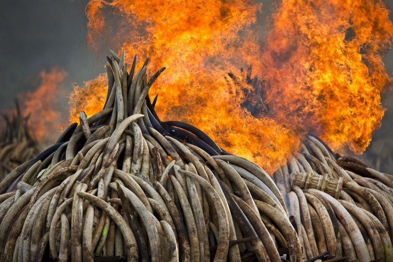 肯亞在4月30日焚毀多達105噸的象牙,向全世界宣示反盜獵。(美聯社)