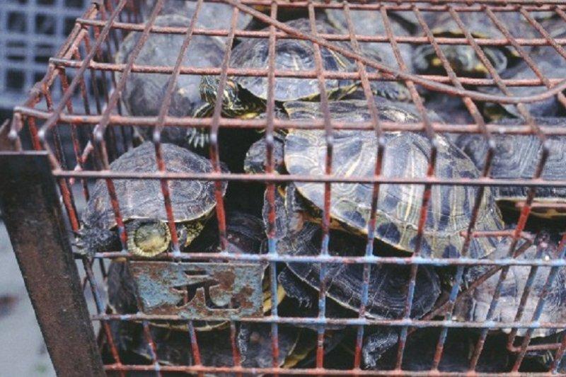放烏龜會長壽的迷思,讓烏龜變成熱門放生物種,捕捉的烏龜在狹窄的空間裏反而造成更多傷亡。(台灣動物社會研究會提供)